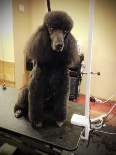 Pepper is a Standard Poodle.