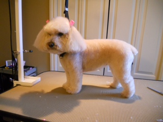 Angel is a Toy Poodle