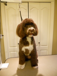Coco is a Portuguese Water Dog